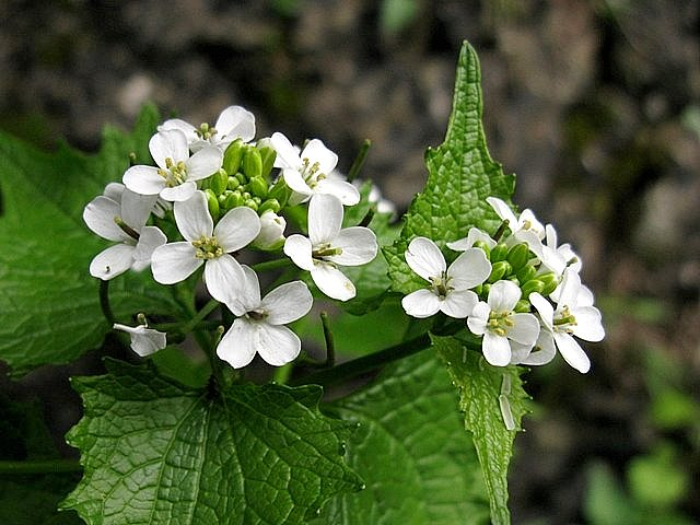 Scheda fiori bianchi quattro petali for Nomi di fiori bianchi