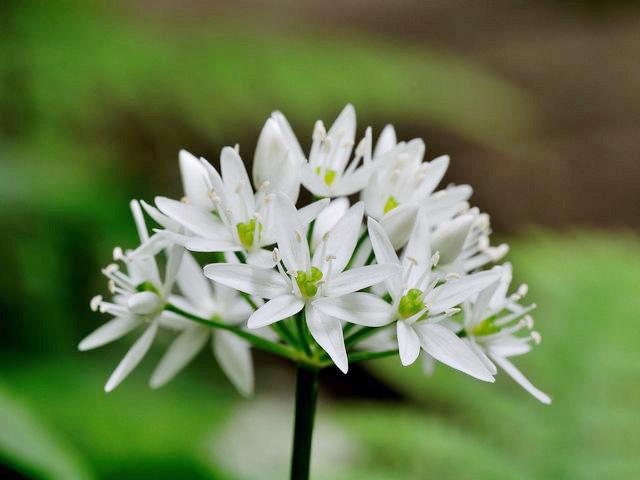 Scheda-fiori-bianchi-sei-o-piu-petali
