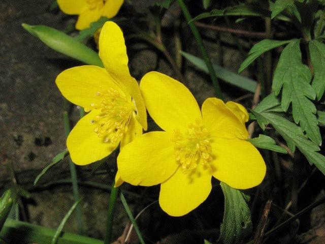 fiore giallo verdognolo reseda