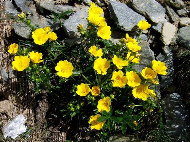 Scheda-fiori-giallo-verdi-cinque-petali