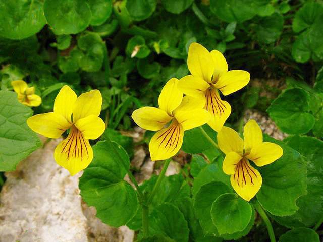 Scheda fiori giallo verdi petali irregolari for Fiori verdi