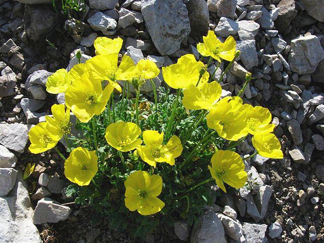Fiore Giallo Quattro Petali.Scheda Fiori Giallo Verdi Quattro Petali