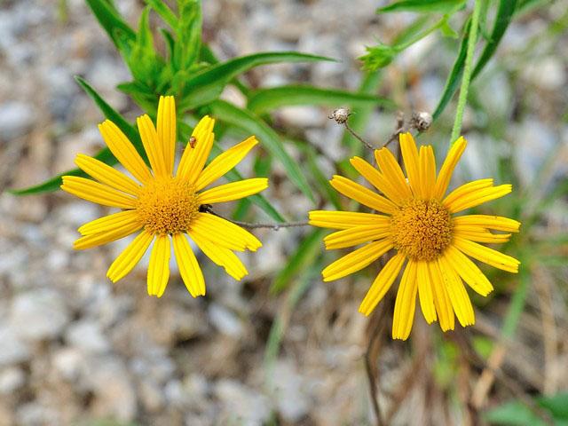 Scheda fiori gialli verdi sei o piu petali for Fiori verdi